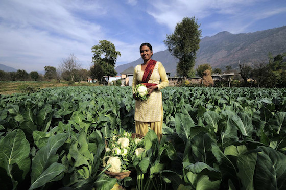 Harvesting cauliflowers at a small-scale farm in India