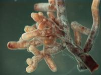 Mychorrhizae